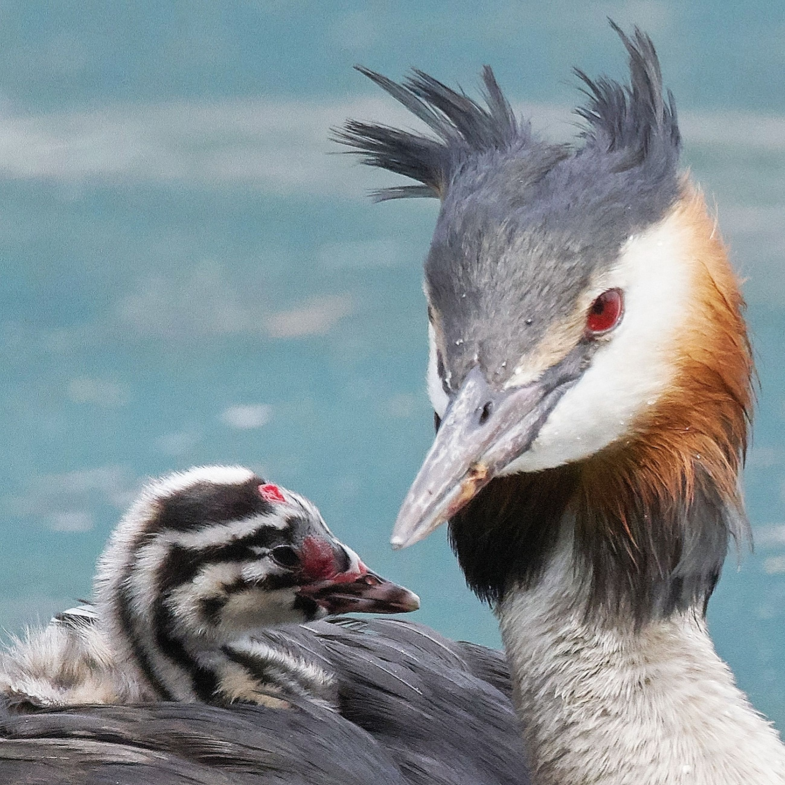 animal themes, bird, animal, vertebrate, animals in the wild, group of animals, animal wildlife, focus on foreground, two animals, beak, close-up, no people, day, nature, lake, duck, outdoors, young animal, water bird, mouth open, animal family, animal head