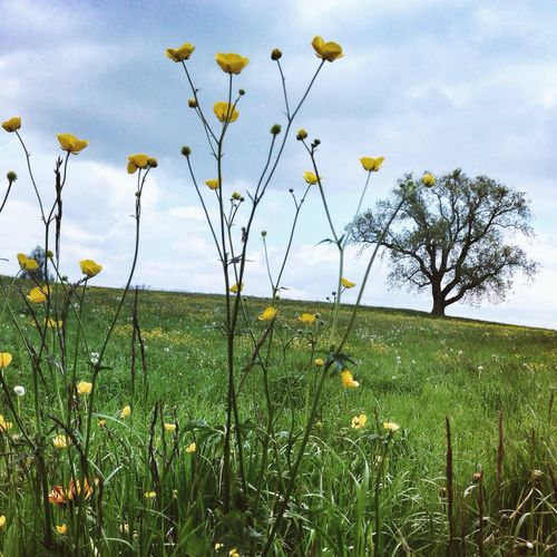 Yellow flowers growing on grassy field
