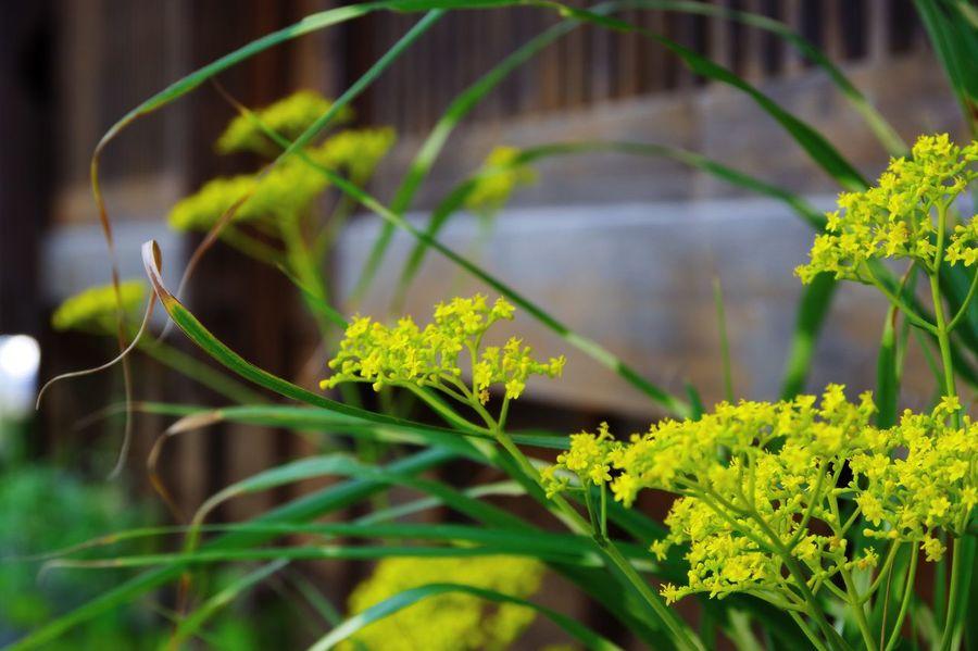 オミナエシ。 Plant Growth Nature No People Beauty In Nature Leaf Green Color Focus On Foreground Outdoors Day Close-up Fragility Freshness Flower Patrinia Scabiosifolia Chiba,Japan
