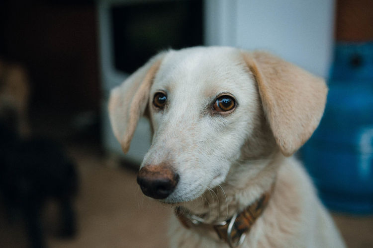 Close-up portrait of dog at home