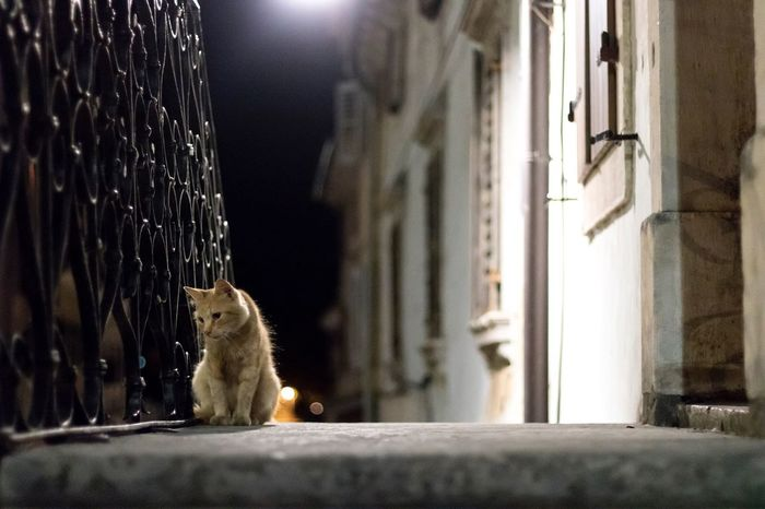 Lonely Cat Street Night City Alley Cat Door Outdoors Buje Croatia Travel Photography Animal Themes One Animal Mammal No People Domestic Cat Domestic Animals Pets Railing Sad Observing Attentive Lantern Spotlight Architecture The Week On EyeEm The Week On EyeEm Pet Portraits The Week On EyeEm