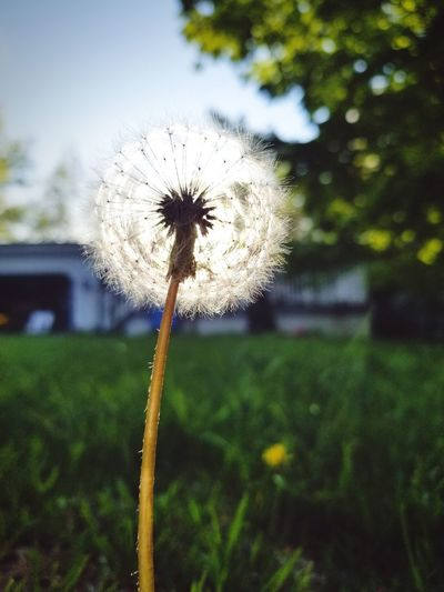 sunshine dandelion Flower Water Close-up Sky Plant Dandelion Seed Dandelion Stem Single Flower Plant Life Uncultivated Softness Flower Head Wildflower In Bloom Stalk