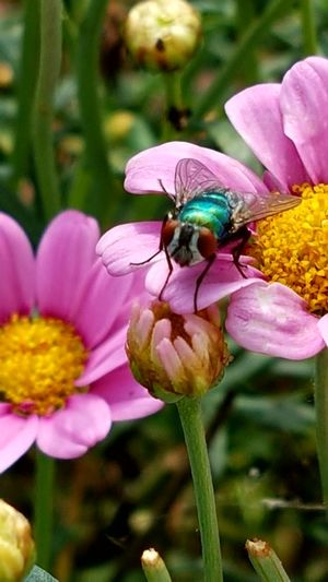 ....nicht ganz scharf....aber tolle Farben im Zusammenspiel Pink Daisy Green Fly Freshness Defocused Outdoors Flying Insect Insect Photography Beauty In Nature No People Flower Garden