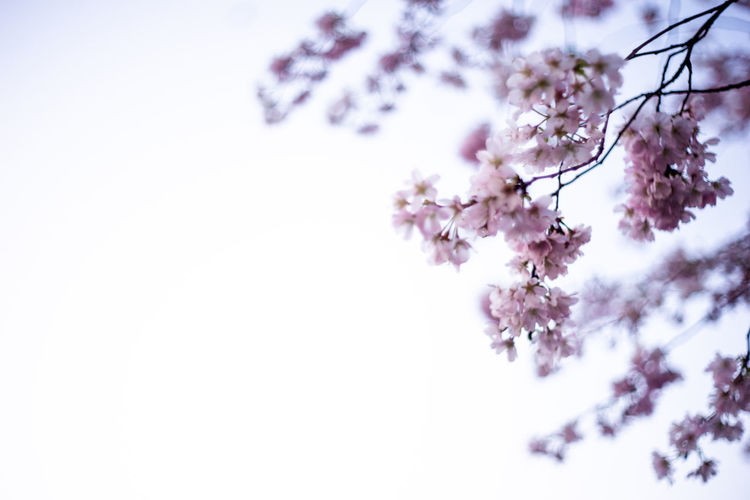 Beautiful cherry blossom Sakura against blue sky with selective focus Flower Flowering Plant Plant Beauty In Nature Fragility Freshness Growth Tree Nature Blossom No People Springtime Cherry Blossom Outdoors Sakura Sakura Blossom Beauty In Nature Spring Pink Color