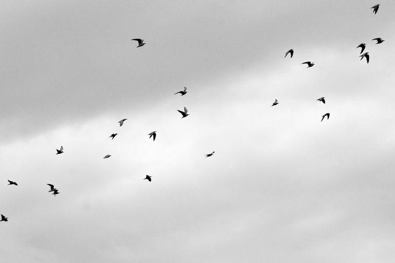 Flight Migratory Birds Migratory Route Migratory Stock Hagonoy Monochrome_life Formation Flying Bird Of Prey