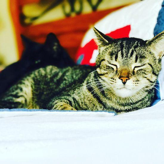 Bengal Cat Lover Tiger Face Close-up Domestic Cat Pets Feline