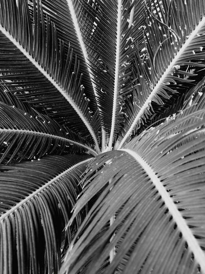Nopeople Black And White LINE Cenery Top View Leaf Tree Palm Black Color Outdoor Outside