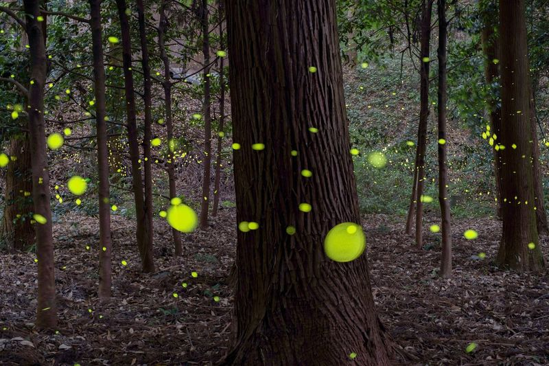 Firefly Tree Forest Nature No People Outdoors Long Exposure Eye Em Nature Lover Japan Night Beauty In Nature