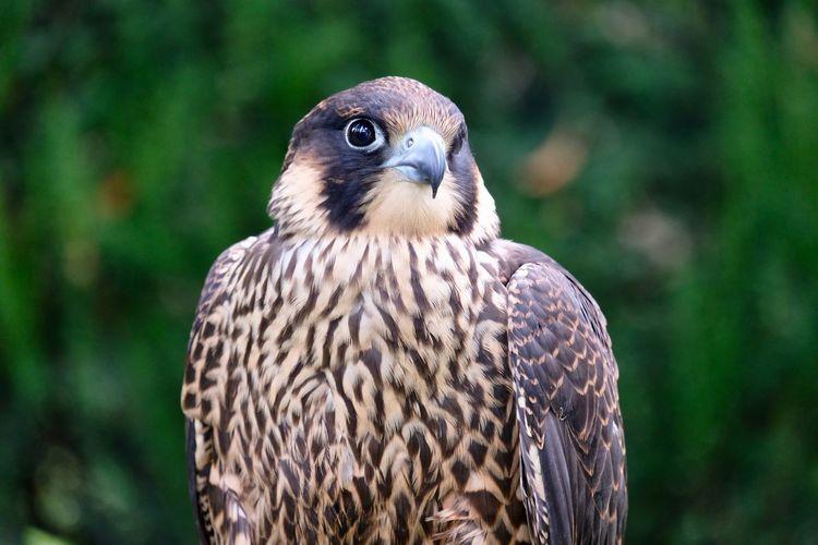 Close-up portrait of falcon