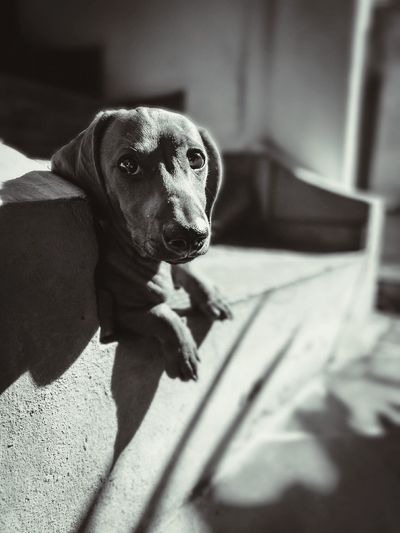 EyeEm Selects Pets One Animal Dog Domestic Animals Animal Themes No People Teckle Face Teckelphoto