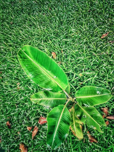 Banana Tree Sapling Sapling Tree Beauty Of Nature Tree On The Ground Tree Photography Tree_collection  Green Color Leaf Nature
