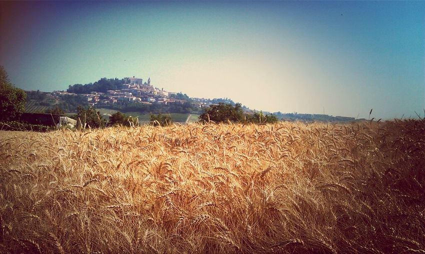 Wheat Field In San Pietro Looking At Govone