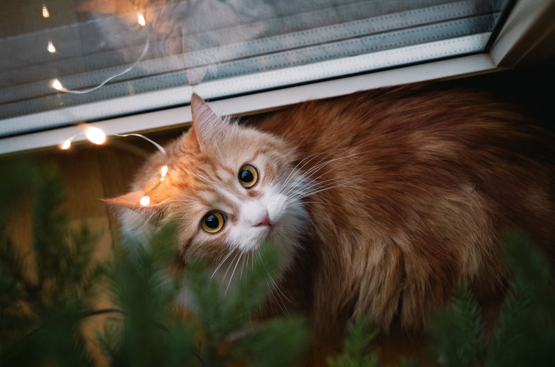 Top view portrait of a surprised and cute ginger cat lying under a christmas tree.