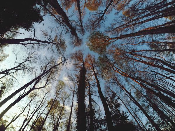Low Angle View Tree Trunk Tree Forest Branch Scenics Tranquility Tranquil Scene Beauty In Nature Tall Nature Tall - High WoodLand Growth Tree Canopy  Directly Below Outdoors Day Full Frame