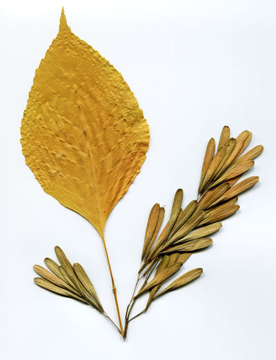 Herbarium: leaves and seeds of elm Cereal Plant Dry ELM Herbarium Leaf Leaves Nature No People Plant Seeds White Background