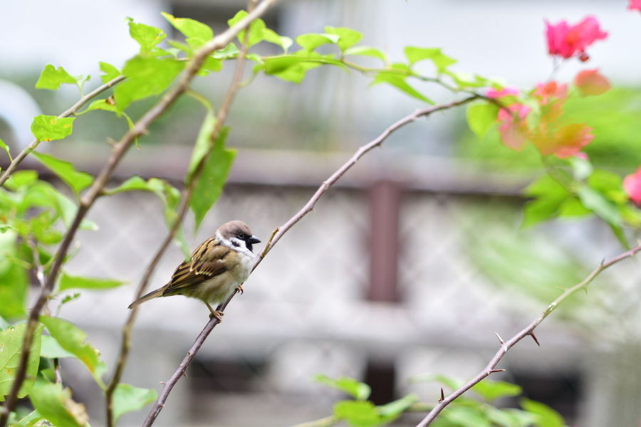 sparrow EyeEm Best Shots EyeEm Nature Lover EyeEm Gallery Eyeem4photography Beauty In Nature Sparrow Animal Themes Bird Portrait Animal Portrait Perching Bird Tree Branch Defocused Flower Living Organism Close-up Plant