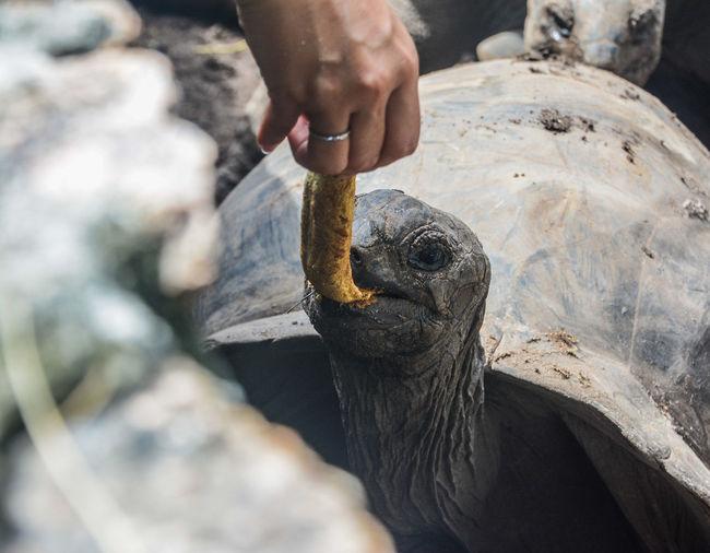 Turtle 🐢 Giant
