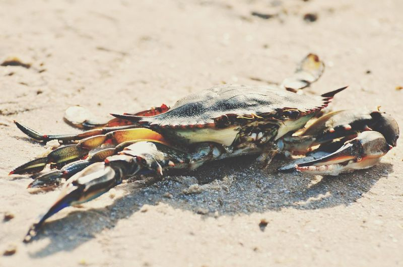 Crab 🦀 Sand Beach Seafood Crab Crustacean Animal Themes One Animal Sunlight Lobster No People Food And Drink Close-up Sea Life Nature Food Day Animals In The Wild Healthy Eating Outdoors Freshness Marine Life EyeEmNewHere Sea_collection Florida Nature