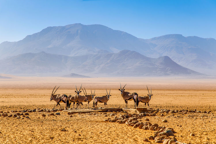 The herd of wild oryxs in namibia