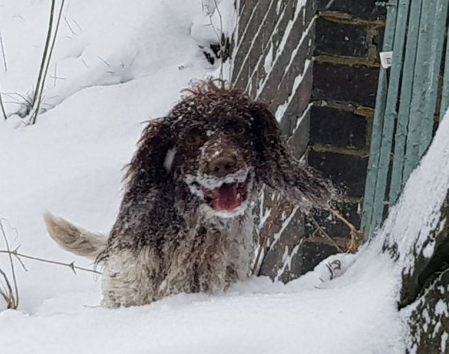 snow beard! Beauty In Nature Dogs Mammal Dogs Of EyeEm Doglover Hunting Dog Snow Spaniel Fun Snow Day No People Snowing Snowflake Nature Mammal Day