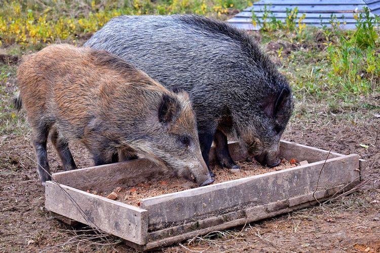 Wild boars eating from feeder