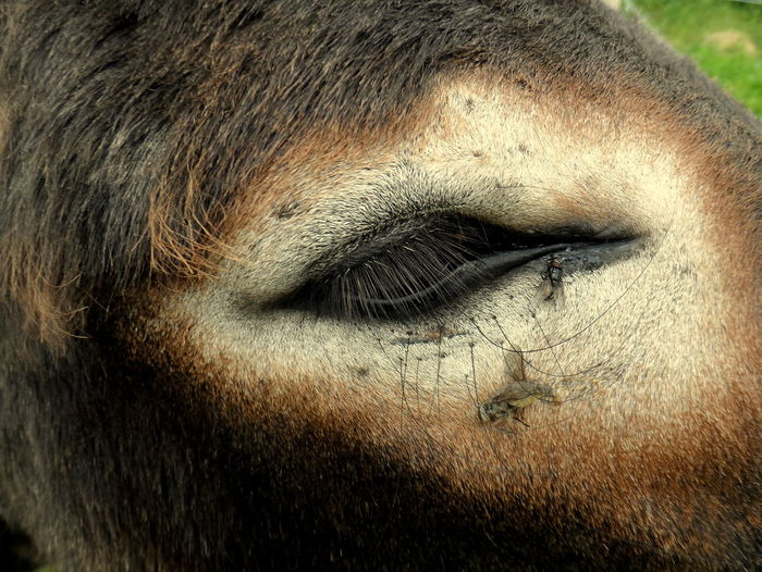 Close-Up Of Insects On Donkey Eye