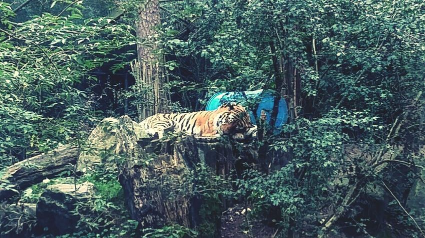 Sleping tiger