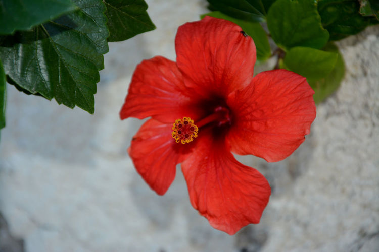 Beauty In Nature Close-up Day Flower Flower Head Fragility Freshness Ibiscus Nature Outdoors Petal Plant Red