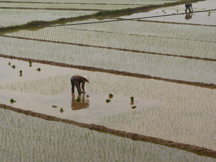 Farmers Planting Rice Plants In Paddy