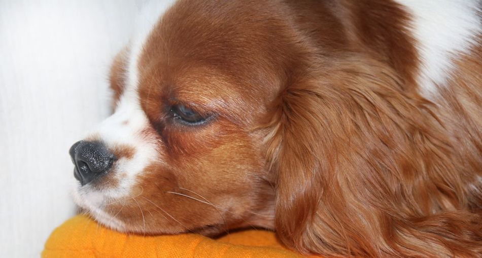 Cavalier King Charles Puppy portrait Mammal Puppy Head Shot  Close Up Cavalier King Charles Spaniel EyeEm Selects One Animal Dog Canine Domestic Animal Themes Pets Animal Mammal Domestic Animals Vertebrate Looking Away Brown Looking Indoors  Close-up No People Animal Body Part Relaxation Animal Head