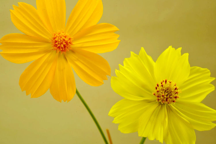Close-up of yellow cosmos flower