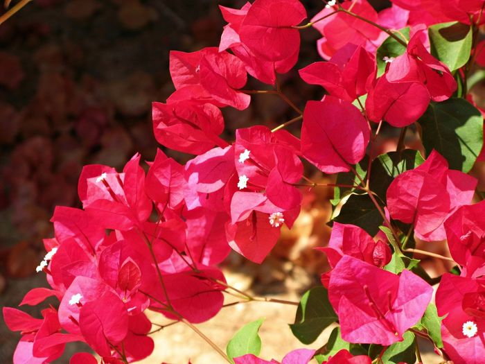Beauty In Nature Blooming Blossom Bougainvillea Close-up Day Eolian Islands Flower Flower Head Fragility Freshness Growth Nature No People Outdoors Petal Pink Color Plant Sicilian Memories Springtime Summer Memories