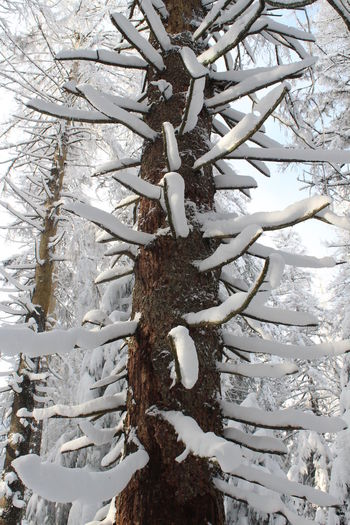 trees and snow Winter Snow Cold Temperature Tree Plant Nature White Color Day No People Outdoors Barks Of A Tree Frosty Portrait Format Tree Trunk Trunk Branch Close-up Growth Pattern Land Frozen Forest Coniferous Tree