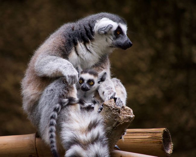 Lemurs looking away while sitting on wood in forest
