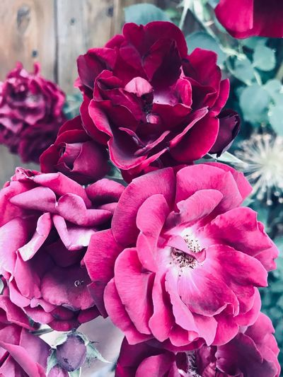 Flowering Plant Flower Plant Beauty In Nature Freshness Petal Pink Color