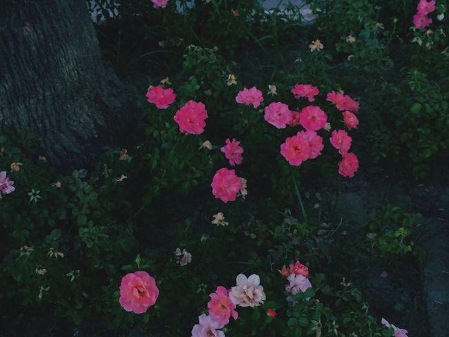 "Aksam yuruyusunden cekimlerim../1"" Flower Pink Bohem Bohemian Retro Soft Flowers Pink Rose Rosé 🌹"