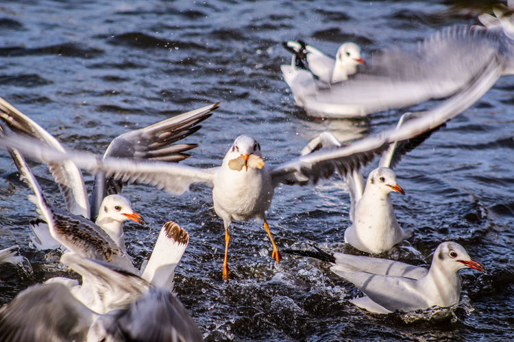 EyeEm Best Shots EyeEm Nature Lover EyeEmBestPics EyeEm Best Shots - Nature Beauty In Nature Wonders Of Nature Blackheaded Gull Seagull Bird Water Snow Lake Winter Spread Wings Animal Themes Young Bird Water Bird