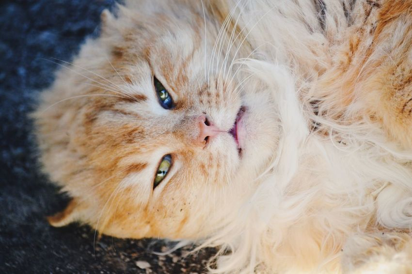Funny cat Domestic Cat Pets Domestic Animals One Animal Feline Mammal Animal Themes No People Portrait Persian Cat  Close-up Day Furry Fluffy Pet Cat Domestic Animal Cute Funny Pet Life  Adorable Fresh on Market 2017 Pet Portraits