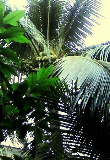 Hermosa Palmera, Cocos, Cocotero. First Eyeem Photo