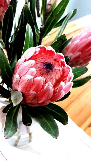Flower Beauty In Nature Close-up Freshness Protea Blossom Protea Flowers