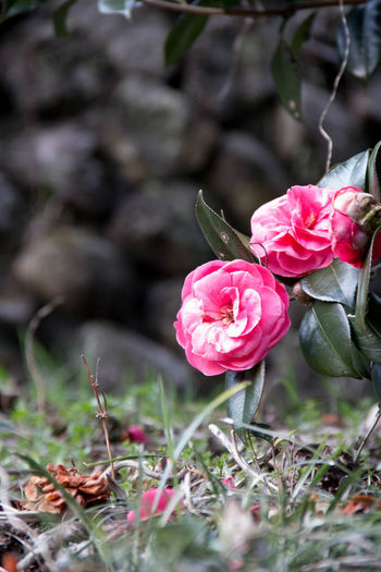 Beauty In Nature Close-up Flower Flower Head Fragility Freshness Growth Nature Outdoors Petal Pink Color Rose - Flower