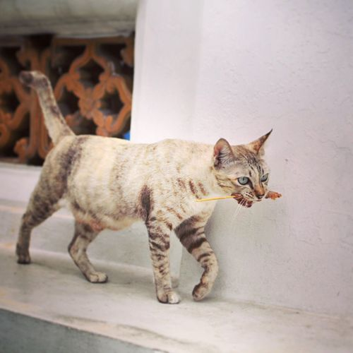 Cat with skewer walking on wall of temple