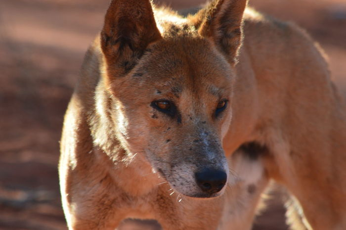 Close up with a dingo. Adventure Animal Themes Animal Wildlife Animals In The Wild Close-up Day Desert Deserts Around The World Dingo EyeEm Gallery EyeEm Nature Lover EyeEmNewHere Focus On Foreground Mammal Natural Nature No People Office Building One Animal Outdoors Portrait Share Your Adventure Travel Wild Wildlife & Nature