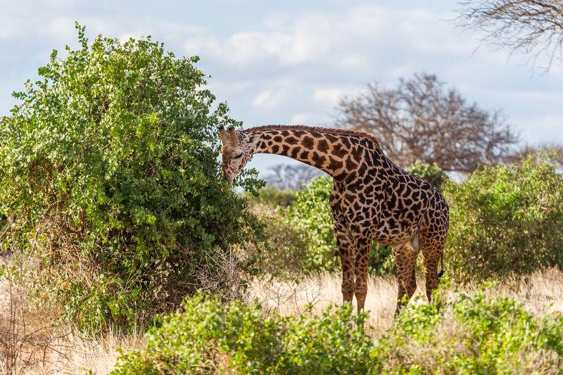 Giraffe Against Trees And Sky
