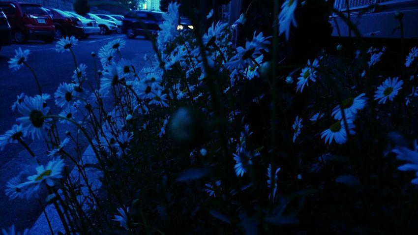 Nightshot Flower And Garden Flowerporn Shasta Daisy Flower