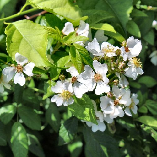 Wild Rambling Rose 💚 Wild Rose Flower Flowering Plant Growth Fragility Beauty In Nature White Color Flower Head Close-up