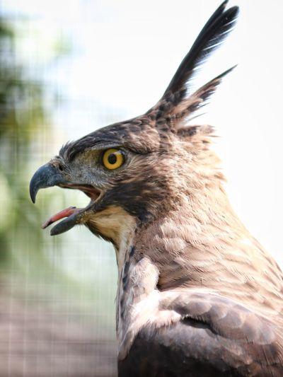 The Eagle Bird