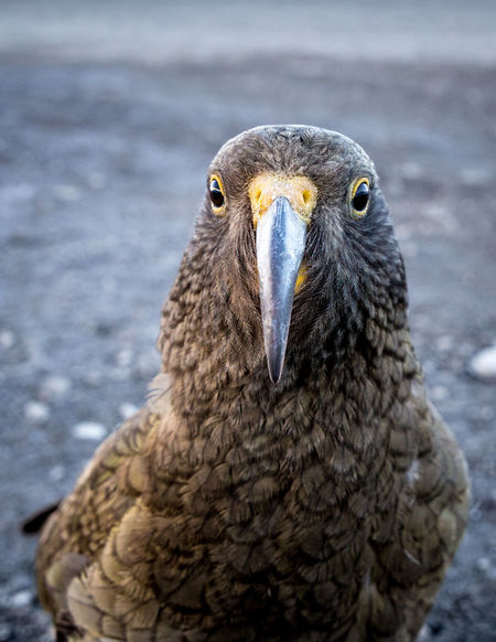 A curious alpine parrot or kea Green Native Birds New Zealand Bird Olive Alpine Parrot Animal Eye Animal Wildlife Animals In The Wild Beak Bird Cheeky Clever Close-up Curious Feathers Of A Bird Inquisitive Kea Looking At Camera Nature Nature_collection Nestoridae One Animal Parrot Portrait