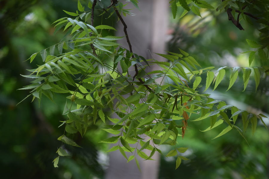 Neem Leaf Beauty In Nature Close-up Day Focus On Foreground Fragility Freshness Green Color Growth Leaf Nature Neem Neem Leaf No People Outdoors Plant Tranquility Tree