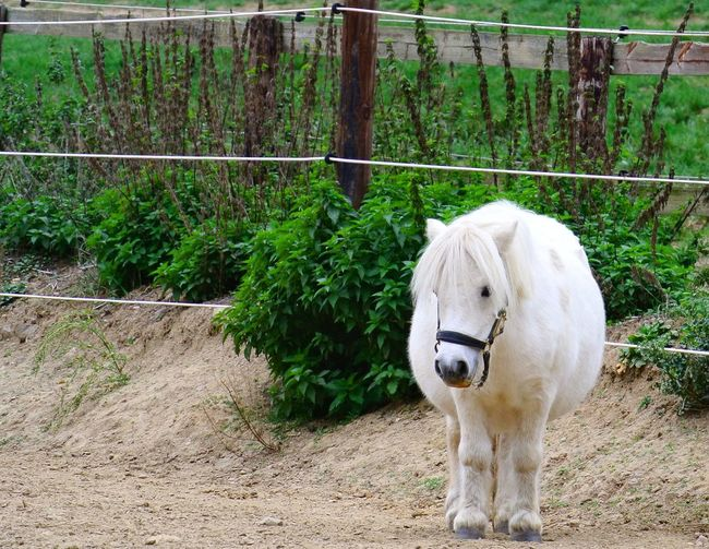 Pony White Pony Paddock Tree Grass Livestock Horse